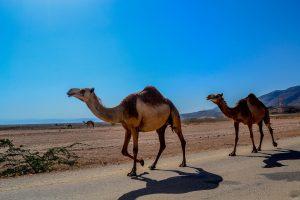 Kamele laufen auf einer Straße