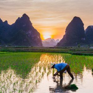 Vietnam arbeitender Mann auf Reisfeld mit Bergen im Hintergrund